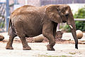 Elephant Walking (22221804848).jpg