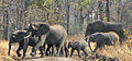 Elephants in Liwonde National Park.JPG