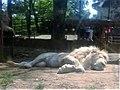 Em - Panthera leo melanochaita - 1.jpg