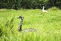 Ema no Parque Ecológico Itapemirim 01.jpg