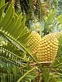 Encephalartos altensteinii KirstenboshBotGard09292010N.JPG