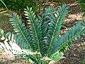 Encephalartos ferox Montjuic.jpg