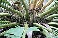 Encephalartos manikensis 0zz.jpg