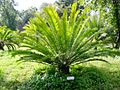 Encephalartos woodii x natalensis01.jpg