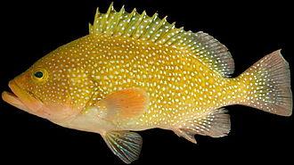 Calico grouper - Image: Epinephelus drummondhayi