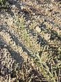 Eragrostis virescens sl20.jpg