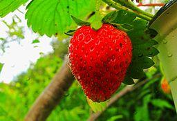fraise dans le jardin