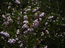 Erica insolanthera flower.jpg
