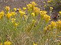 Ericameria nauseosa or Chrysothamnus nauseosus nauseosus (4004128559).jpg