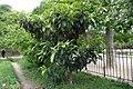 Eriobotrya japonica jardin des plantes.jpg