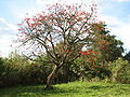 Erythrina abyssinica Tree.jpg