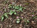 Erythronium japonicum 2005 spring 003.jpg