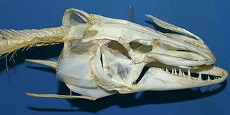 Northern pike - Esox lucius skull