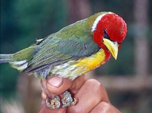 Eubucco - Red-headed barbet (Eubucco bourcierii)
