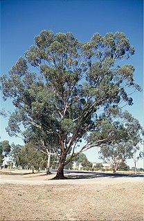 <i>Eucalyptus astringens</i> species of plant