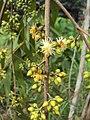 Eucalyptus camaldulensis 15.JPG