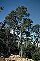Eucalyptus subcrenulata.jpg