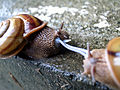Euhadra snails mating.jpg