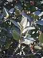 Euonymus japonicus 02.JPG