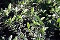 Euonymus japonicus Microphyllus Variegatus 0zz.jpg