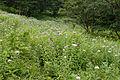 Eupatorium chinense var. sachalinense 06.jpg