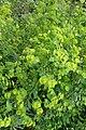 Euphorbia amygdaloides kz01.jpg