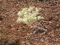 Euphorbia balsamifera (Los Cancajos) 02.jpg