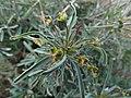 Euphorbia loricata Gifberg.jpg