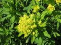 Euphorbia palustris.JPG