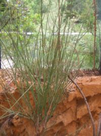 Euphorbia plagiantha