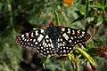 Euphydryas chalcedona chalcedona-Male-6.jpg