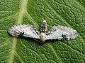Eupithecia centaureata - Lime-speck pug - Цветочная пяденица васильковая (40049638185).jpg