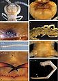 Eupolybothrus kahfi holotype 01.jpg