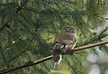 Eurasian Pygmy Owl (Glaucidium passerinum) (17256402182).jpg
