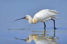 Eurasian Spoonbill.jpg