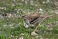 Eurasian Thicknee at nest - Along Po river - Italy FJ0A0938 (42078942802).jpg