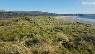 Ammophila arenaria - Sand dunes densely covered by marram grass at Oxwich Bay, Wales