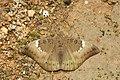 Euthalia aconthea-Kadavoor-2016-06-25-001.jpg