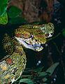 Eyelash Viper (Bothriechis schlegelii) female (captive specimen) (14624275139).jpg