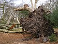 Fallen beech tree, Burley Rocks, New Forest - geograph.org.uk - 399980.jpg