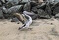Fast running Pelican at Clontarf-1 (7541083114).jpg