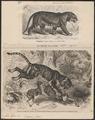 Felis tigris - 1700-1880 - Print - Iconographia Zoologica - Special Collections University of Amsterdam - UBA01 IZ22100089.tif