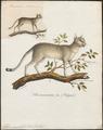 Felix maniculata - 1835 - Print - Iconographia Zoologica - Special Collections University of Amsterdam - UBA01 IZ22100256.tif