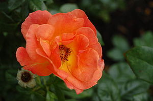 "Rosa 'Fellowship' Deutsch: Floribunda ""Fe..."