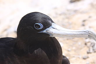 Ascension frigatebird - Adult female