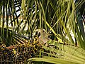 Female Indian Grey Hornbill Eating Palm Fruits 01.jpg