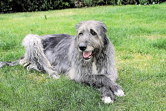 Irish wolfhound - Irish Wolfhound resting
