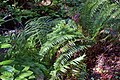 Fern under Redwood MG 2640.jpg