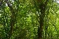 Feuillage dans une forêt naturelle d'Aklankpa.jpg