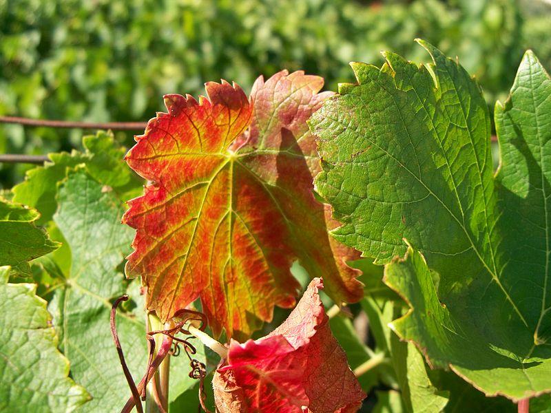 File:Feuilles vignes.jpg